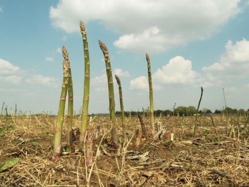 Asperges vertes du producteur terradoc l 39 asperge verte du champ l 39 assiette - Comment planter des asperges ...