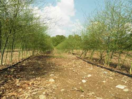 Asperges en végétation