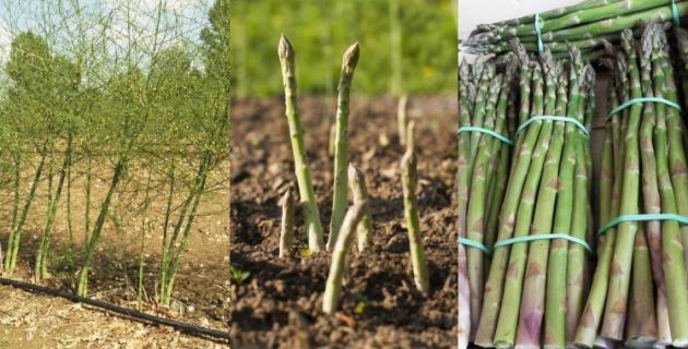 Culture des asperges vertes, depuis le champjusqu'à la mise en bottes