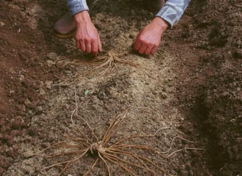 Plantation des griffes d'asperges
