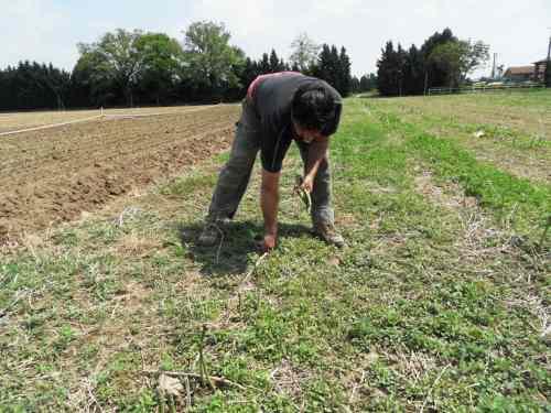 Il faut être souple pour ramasser les asperges