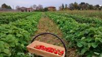 Panier-fraises